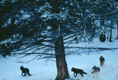Photo: Members of the Rose Creek Pack in Yellowstone National Park's Lamar Valley.