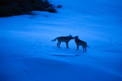 Photo: Members of a wild wolf pack greet each other in Yellowstone National Park.