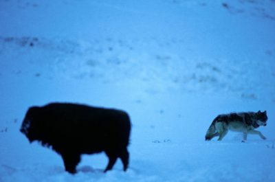 Photo: A wild gray wolf passes by a bison in Yellowstone National Park's Lamar Valley.