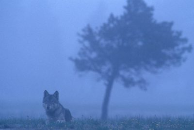 Photo: A wild gray wolf in Yellowstone National Park.