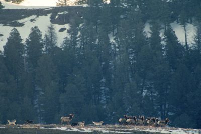 Photo: When wolves were re-introduced into Yellowstone National Park, elk knew exactly what to do when hunted -- seek safety in numbers.