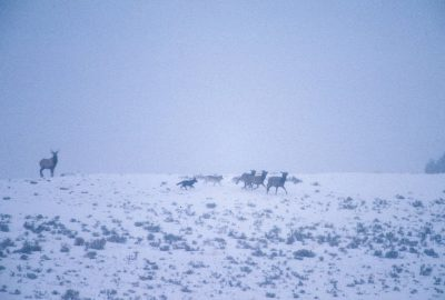 Photo: Wolves chasing elk in the wild in Yellowstone National Park.