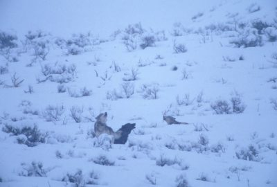 Photo: Wild gray wolves howl in Yellowstone's Lamar Valley.