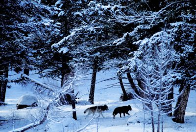 Photo: Wild gray wolves in Yellowstone National Park's Lamar Valley.