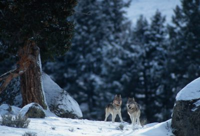 Photo: Wild gray wolves (members of the Rose Creek Pack) in Yellowstone National Park's Lamar Valley.