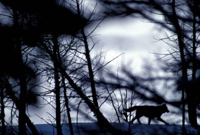 Photo: A wild gray wolf in Yellowstone National Park's Lamar Valley.