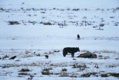 Photo: Wild gray wolf on a carcass in Yellowstone National Park's Lamar Valley.