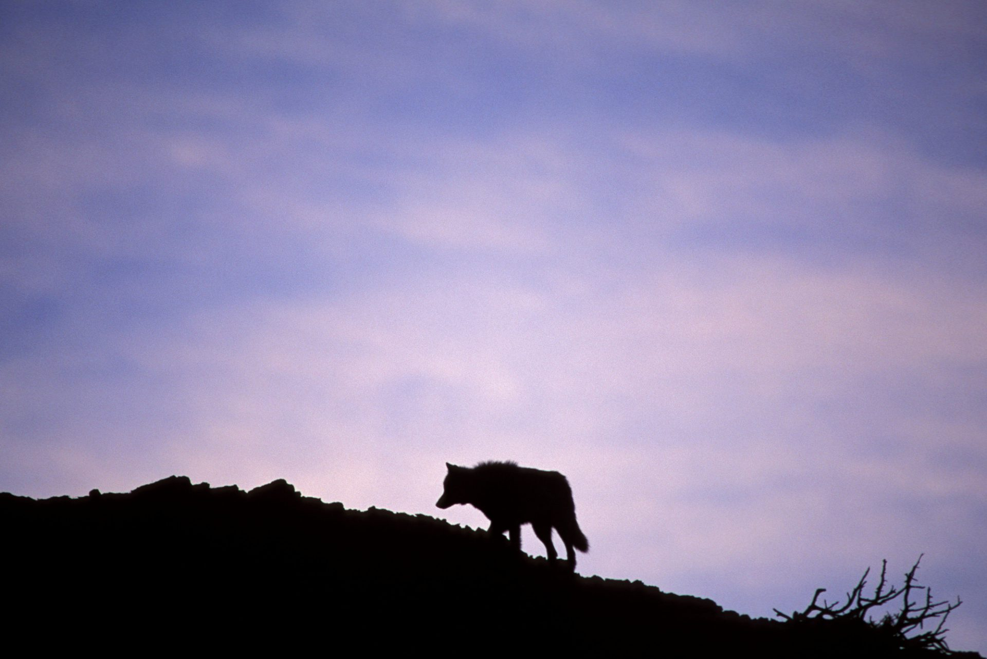 Photo: A wild gray wolf (member of the Druid Peak pack) is silhouetted as it crosses a ridge in Yellowstone National Park's Lamar Valley.