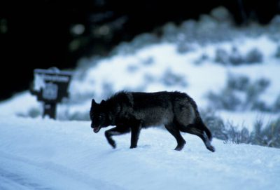 Photo: Wild gray wolf in Yellowstone National Park's Lamar Valley.(Rose Creek Pack)