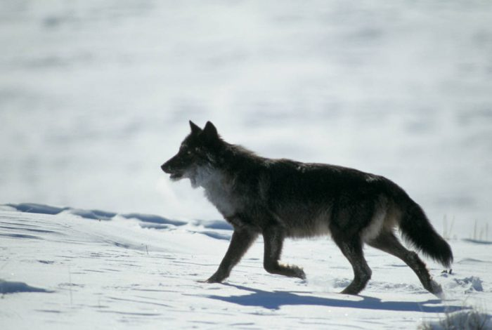 Photo: Wild gray wolf in Yellowstone National Park's Lamar Valley.