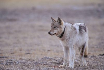 Photo: Wild gray wolf in Yellowstone National Park's Fountain Flats area.