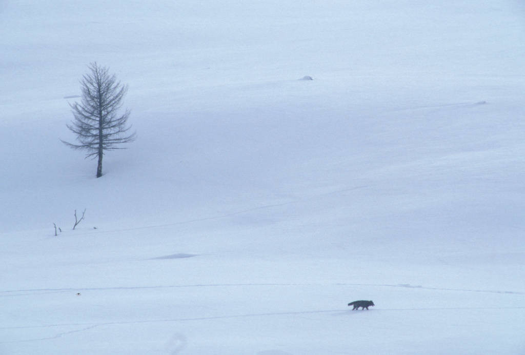 Photo: Wild gray wolf (member of the Rose Creek Pack) in Yellowstone National Park's Lamar Valley.