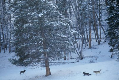Photo: Members of the Druid Peak pack of wild gray wolves in Yellowstone National Park's Lamar Valley.