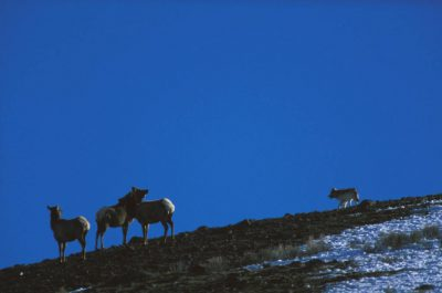 Photo: Wild gray wolf hunting elk in Yellowstone National Park.