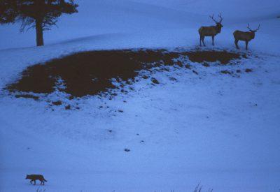 Photo: Wild gray wolf stalking elk in Yellowstone National Park.