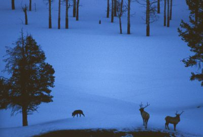 Photo: Wild gray wolf stalking elk in Yellowstone National Park.
