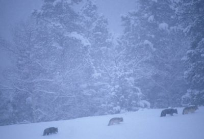 Photo: A pack of wild gray wolves make their way through the snow in Yellowstone National Park's Lamar Valley.