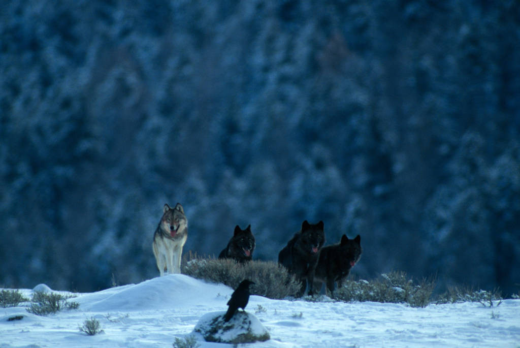 Photo: Members of the Rose Creek pack of wild gray wolves in Yellowstone National Park's Lamar Valley.