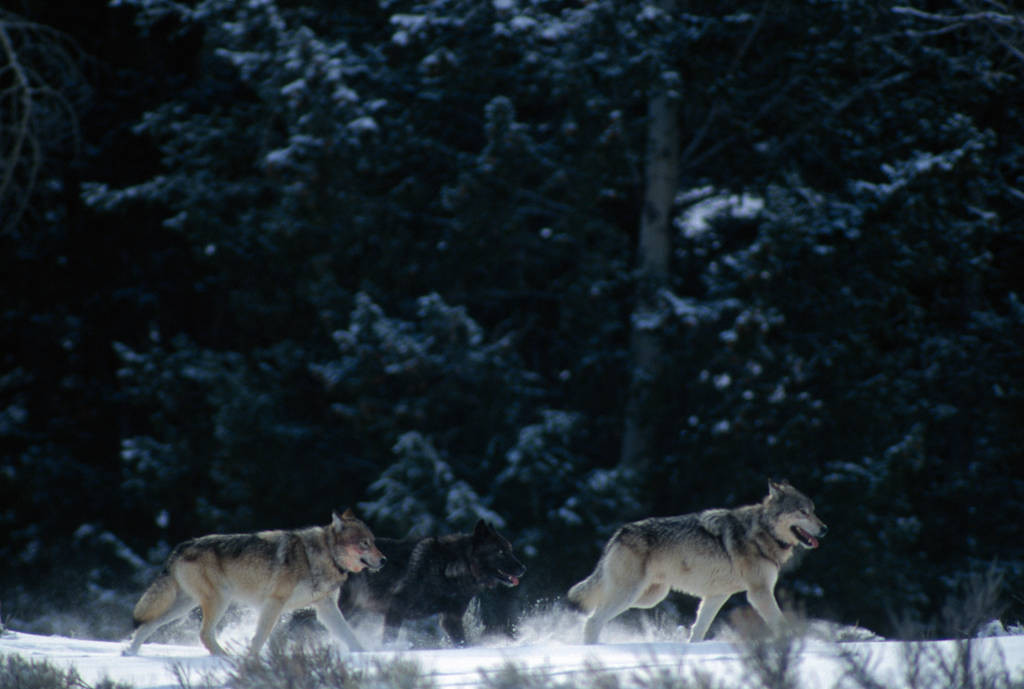Photo: Two members of the Rose Creek Pack of wild gray wolves in Yellowstone National Park's Lamar Valley.