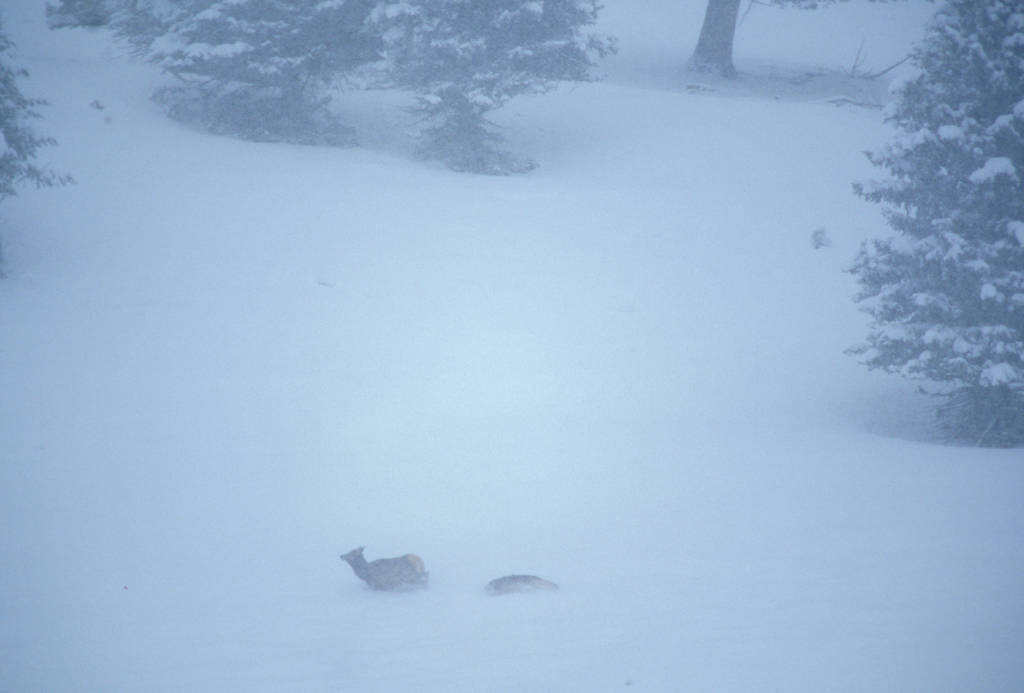 Photo: A wild gray wolf chases an elk through the snow in Yellowstone National Park's Lamar Valley.