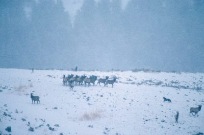 Photo: Members of the Druid Peak pack of wild gray wolves hunt elk in Yellowstone National Park's Lamar Valley.