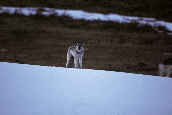 Photo: Wild gray wolf in Yellowstone National Park.