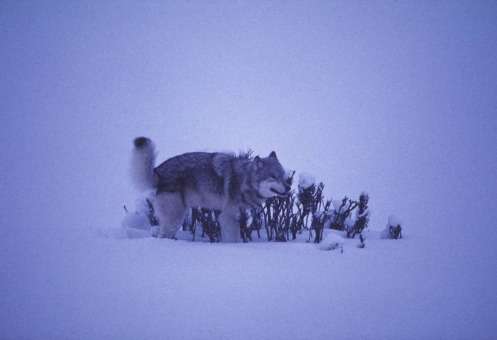 Photo: Wild gray wolf marking territory in Yellowstone National Park's Lamar Valley.