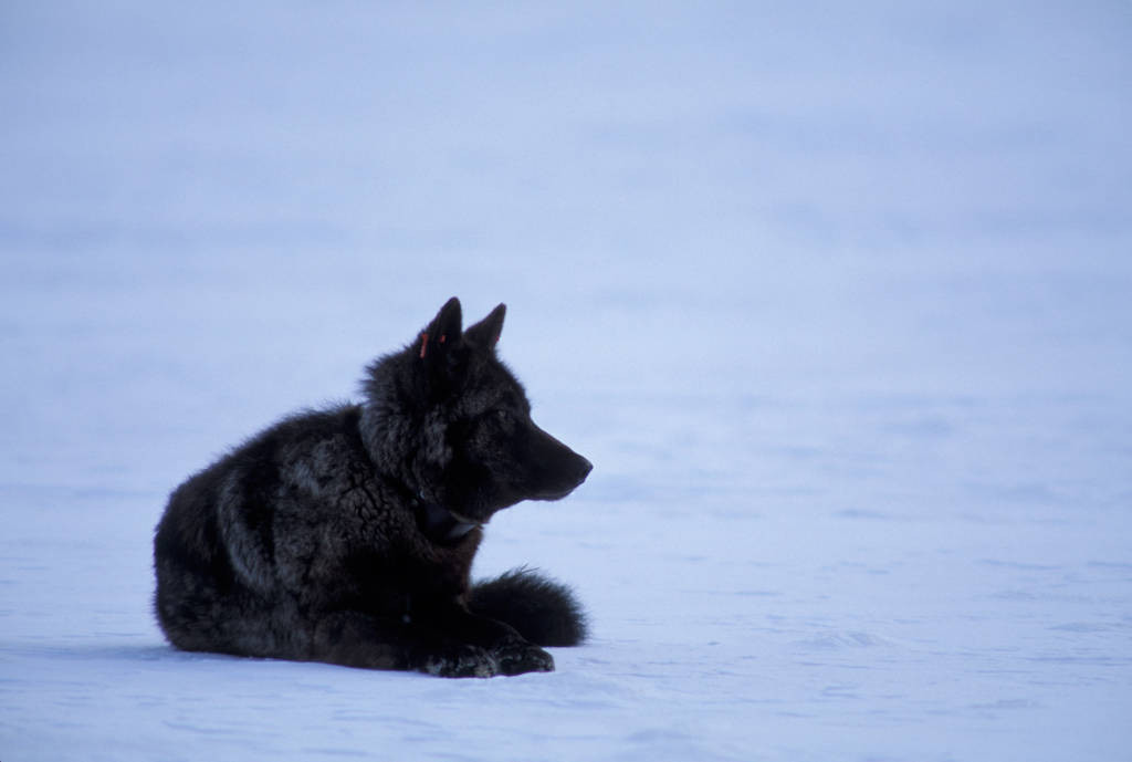 Photo: A wild gray wolf makes its way through the snow in Yellowstone National Park's Lamar Valley.
