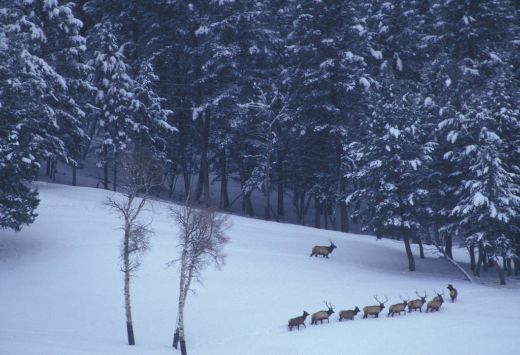 Photo: A pack of wild gray wolves (Rose Creek Pack) in the Specimen Ridge area of the Lamar Valley.