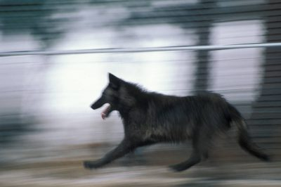 Photo: A captive gray wolf in an acclimation pen shortly before its release into Yellowstone National Park.