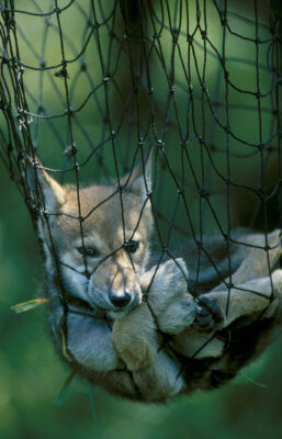 Photo: A red wolf pup is netted for easy handling at the Alligator River National Wildlife Refuge.