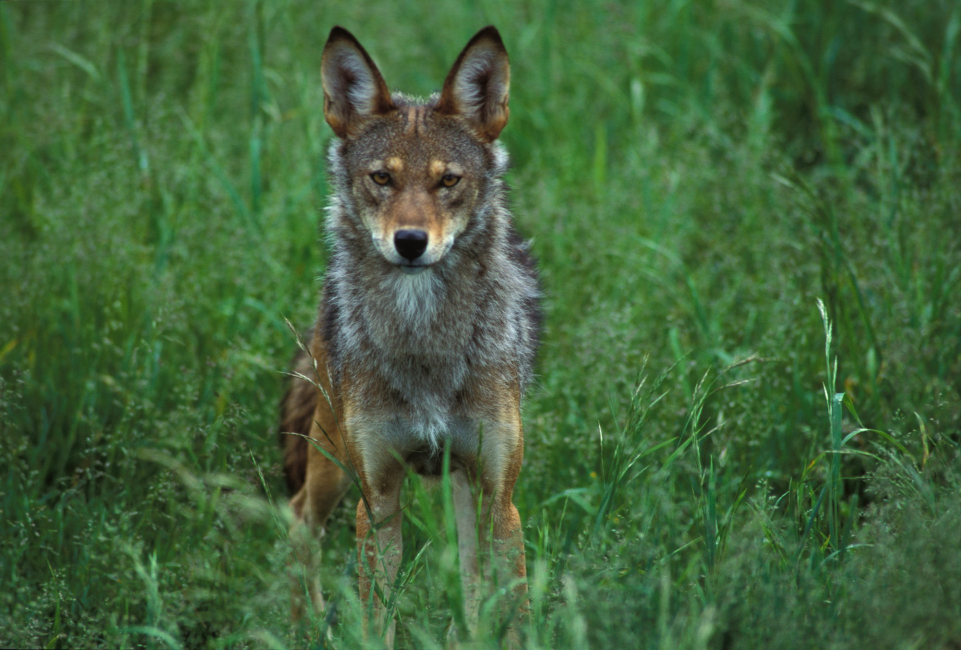 Photo: A red wolf stares down the camera at the Tacoma Park Zoo's captive breeding facility in Washington state.