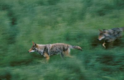 Photo: Endangered red wolves move through the captive breeding facility at the Tacoma Park Zoo in Washington state.