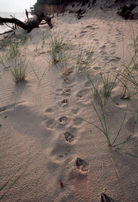 Photo: Red wolf tracks on the beach of of the Alligator River NWR near Manteo, NC.