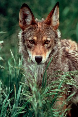 Photo: Red wolf in a captive breeding program at the Tacoma Park Zoo in Washington state.