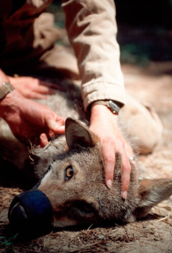 Photo: Biologists in Manteo, NC, attach a radio collar to a tranquilized red wolf (endangered.) This wolf will later be released to Pocosin Lake NWR.