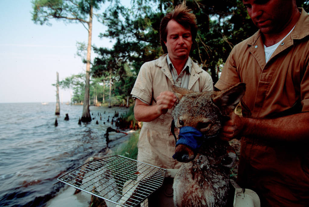 Photo: Biologists relocate a tranquilized red wolf (endangered) near Manteo, North Carolina.