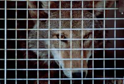 Photo: A red wolf (endangered) waits for relocation to Pocosin Lake NWR in North Carolina.