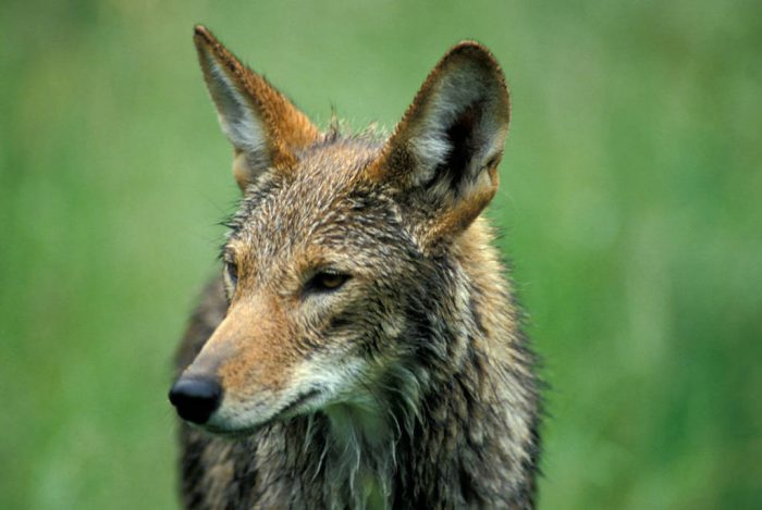 Photo: An endangered red wolf at the Tacoma Park Zoo's captive breeding facility in Washington state.
