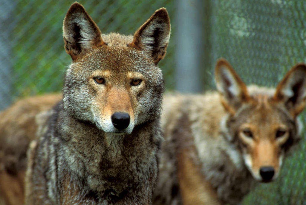 Photo: Endangered red wolves at the Tacoma Park Zoo's captive breeding facility in Washington state.
