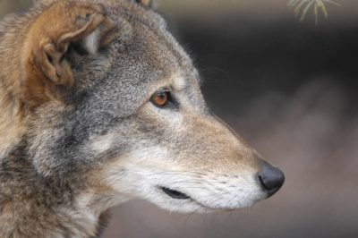 Red wolf (Canis rufus) at the Great plains Zoo. (IUCN: Critically endangered, US: Endangered)
