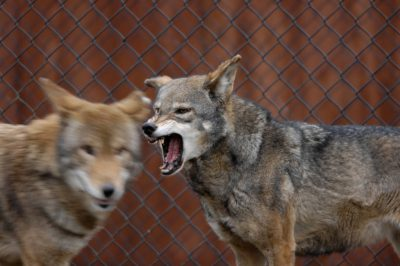 Red wolves (Canis rufus) at the Great plains Zoo. (IUCN: Critically endangered, US: Endangered)