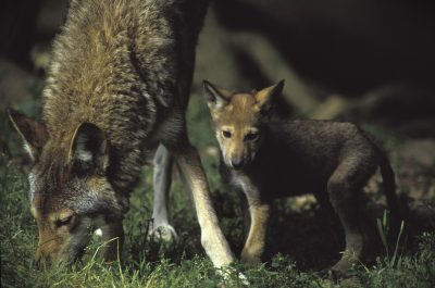 Photo: An endangered red wolf and its pup at the Tacoma Park Zoo's captive breeding facility in Washington state.