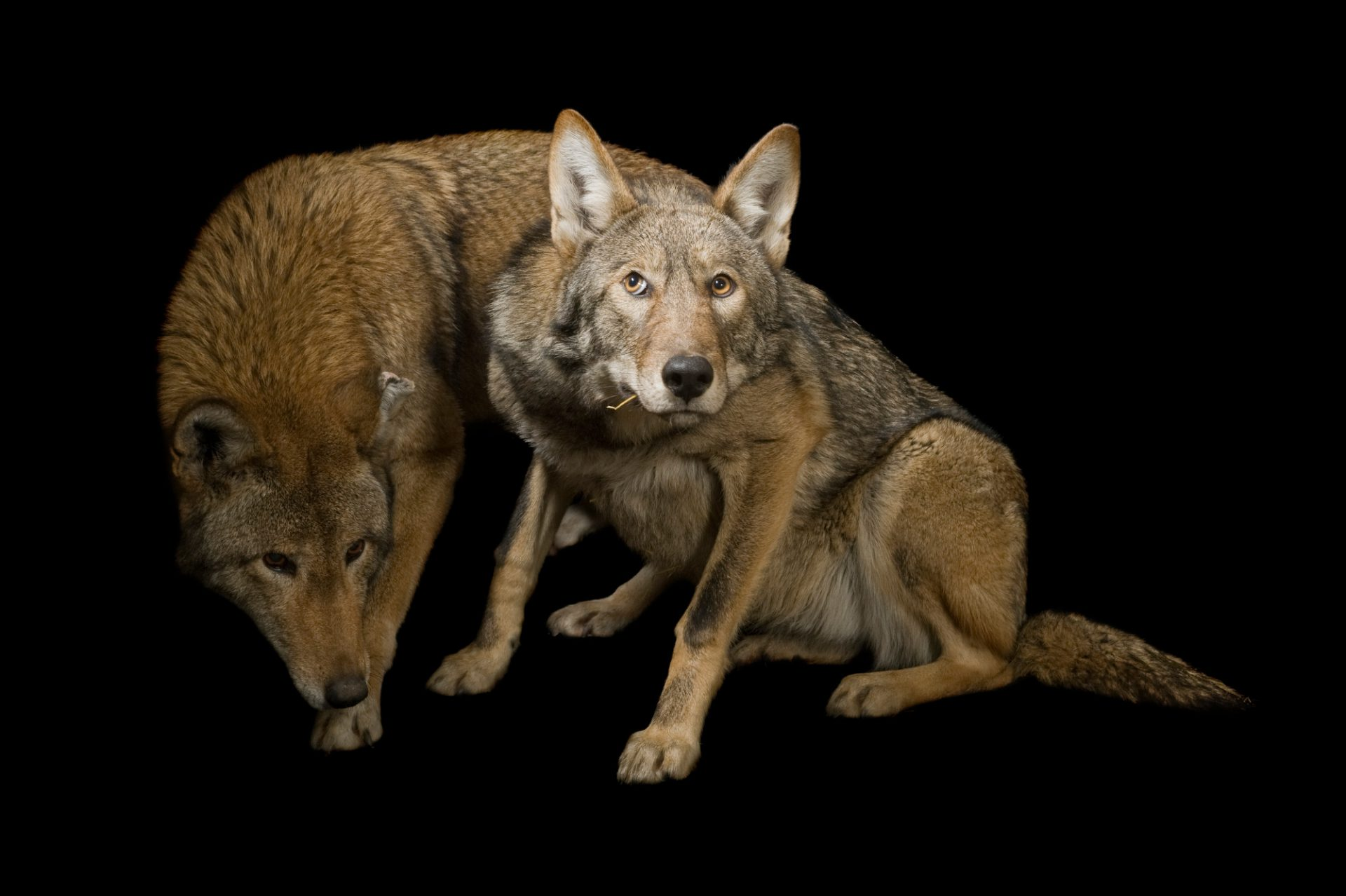 A critically endangered (IUCN) and federally endangered red wolf (Canis rufus gregoryi) at the Great Plains Zoo.