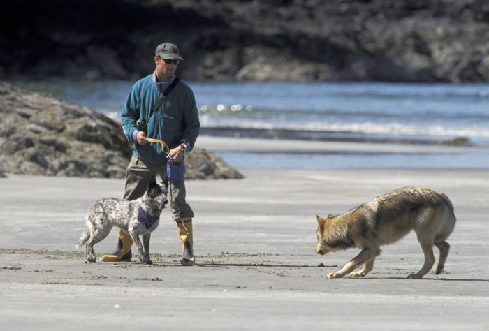 Photo: A wild wolf on a Clayoquot Sound, BC beach faces off with adomestic dog.