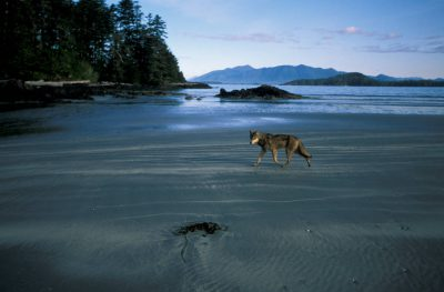 Photo: A wild wolf forages for food on the beach of Vargas Island, British Columbia, Canada.
