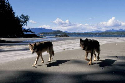 Photo: Wild wolves on the beach in Clayoquot Sound, British Columbia.