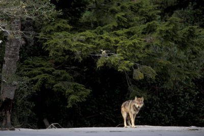 Photo: Wild wolf on the beach in Clayoquot Sound, British Columbia.