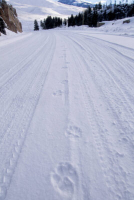 Photo: Gray wolf tracks on a snow-covered road in Yellowstone National Park.
