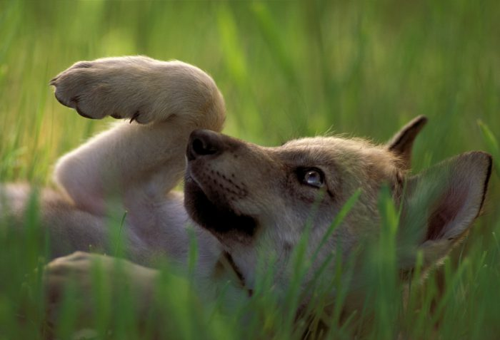 Photo: A captive gray wolf pup reclines in the grass in South Dakota.